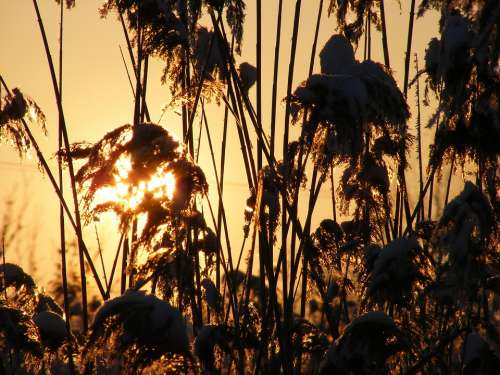 Grass Phragmites Poales Reed Specie Sun Plants