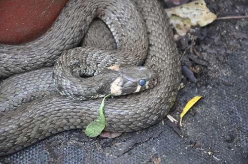 Grass Snake Snake Animal