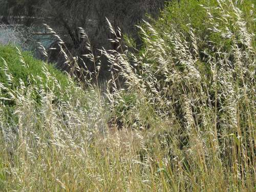 Grasses Grass Wheat Nature Plants Cereal Sway