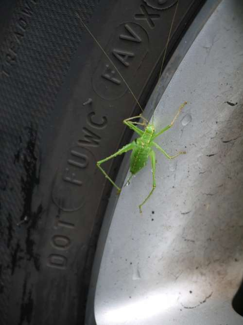 Grasshopper Green Animal Insect