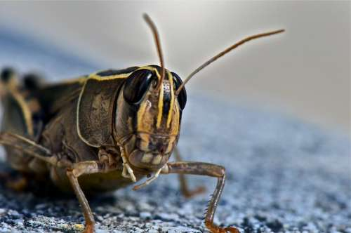 Grasshopper Insect Animal Nature Close Up