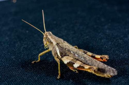 Grasshopper Viridissima Insect Scare Chitin