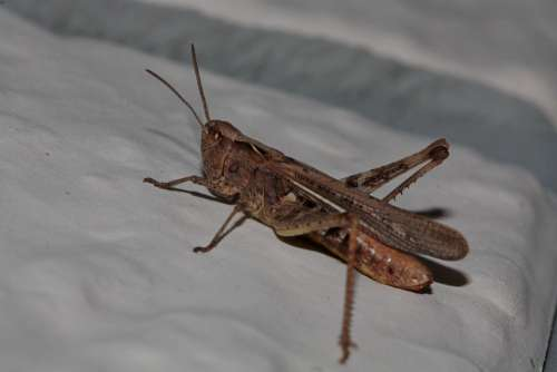 Grasshopper Insect Close Up Nature Probe