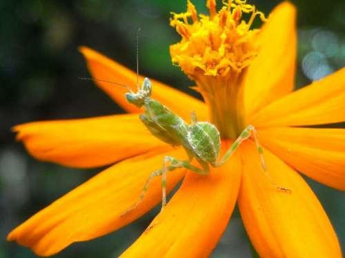 Grasshopper Mantis Flowers Marigolds Yellow