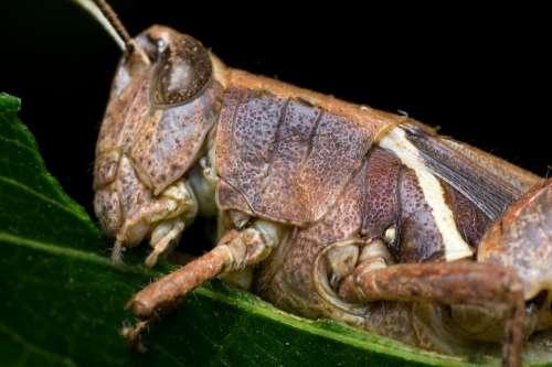 Grasshopper Macro Details Eating Leaf Chitin