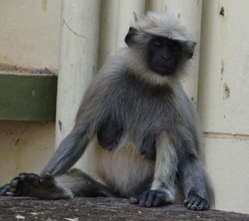 Gray Langur Monkey Meditation Meditating Animal