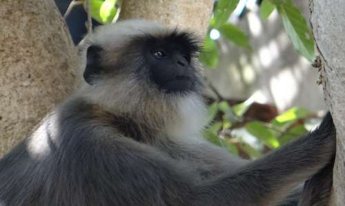 Gray Langur Monkey Animal Mammal Female