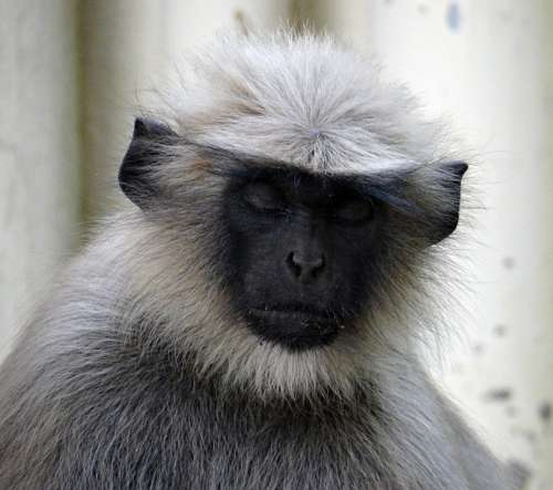Gray Langur Thinking Sleeping Monkey Animal Mammal