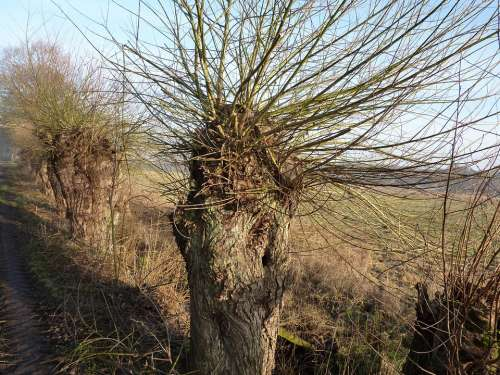 Graze Pasture Tree Braid Branches Salix