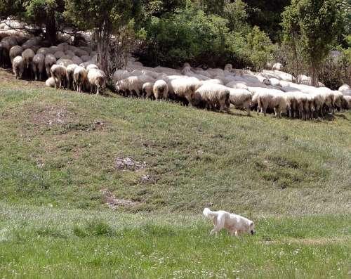 Grazing Sheep Sheep Poland Malopolska