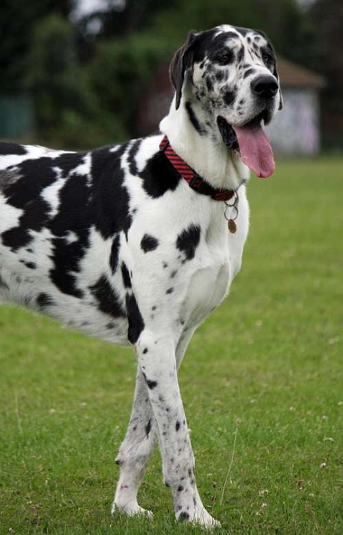 Great Dane Harlequin Dog Canine Pet Animal