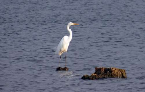 Great Egret Ardea Alba Large Egret Great White Heron