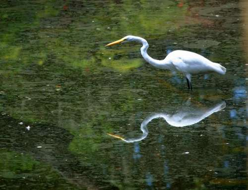 Great White Egret Bird Waterfowl Stalking Patience