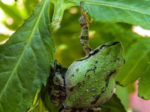 Green Frog Amphibian Creature Small Animal