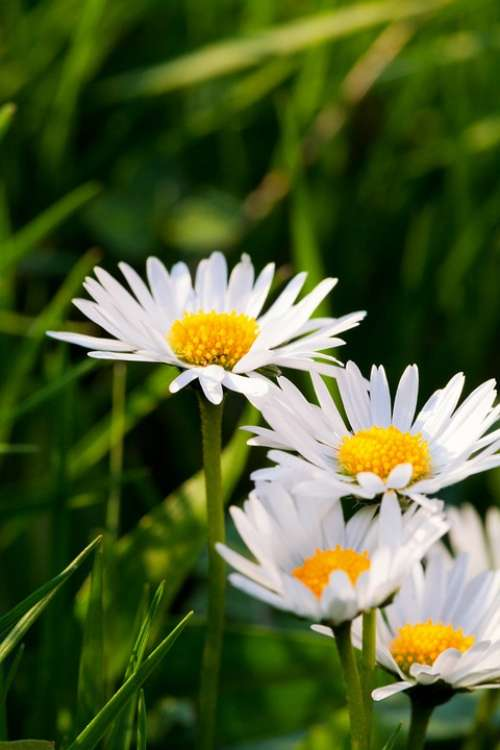 Green White Summer Daisy Nature Flower Yellow