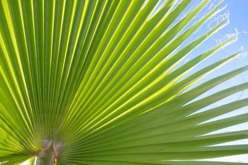 Green Fan Leaf Large Big Sunlight Blue Sky