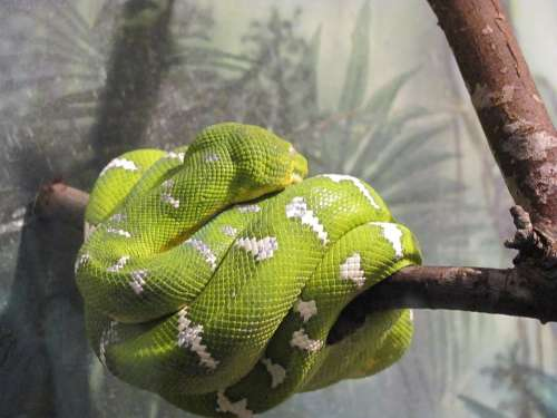 Green Tree Boa Snake Amazon Tree Boa Colorful
