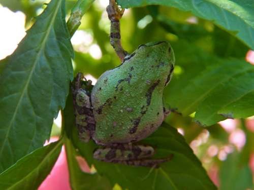 Green Tree Frog Frog Amphibian Tiny Animal Macro