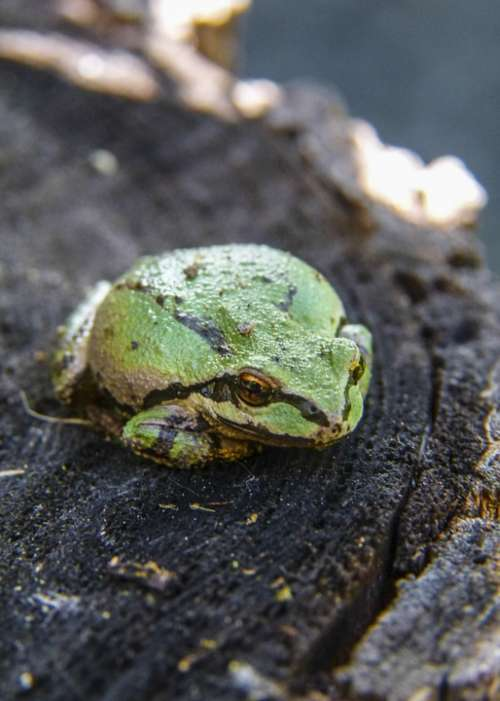 Green Tree Frog Frog Amphibian Tiny Animal Macro