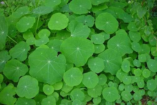Green Nasturtiums Leaves Leaf Landscapes Nature