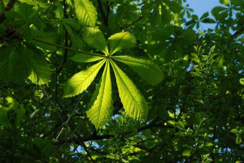 Green Blue Leaves Summer Tree Sky Foliage Plant