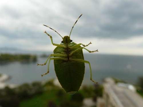 Green Bug Bug Beetle Insect Bugs Green Beetle