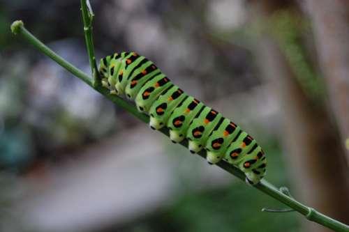 Green Caterpillar Green Nature Insect Caterpillar