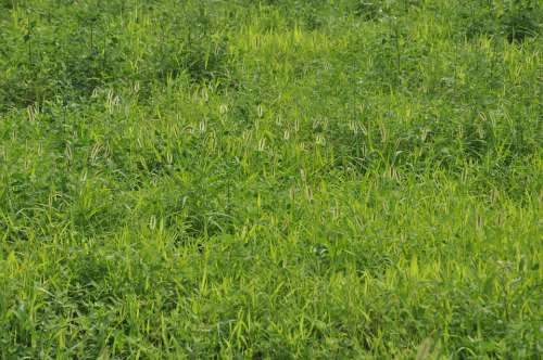 Green Grass Grassland Weeds Setaria Viridis Green