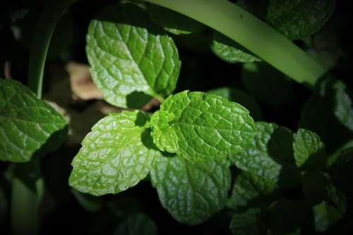 Green Mint Mint Green Leaves Fragrant Aromatic