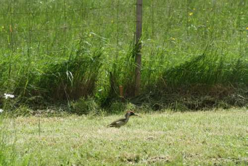 Green Woodpecker Meadow On The Ground