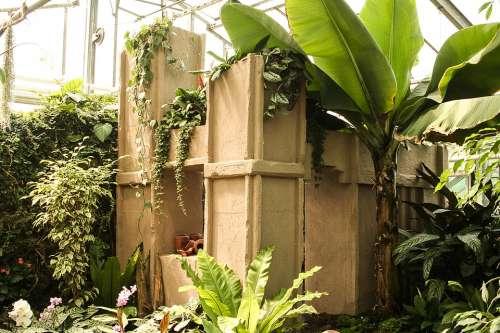 Greenhouse Terracotta Banana Musa Paradisiaca