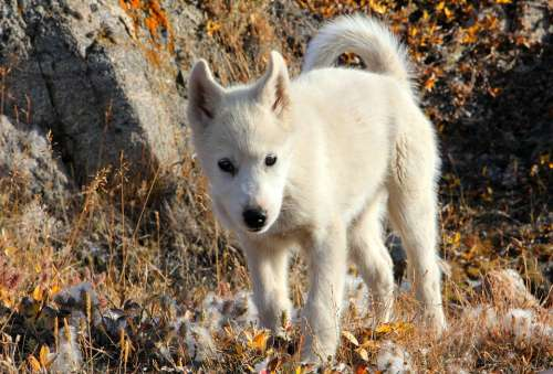 Greenland Dog Dog Draghund Fur