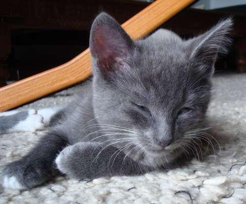 Grey Gray Kitten Cat Young Sleepy Sleeping
