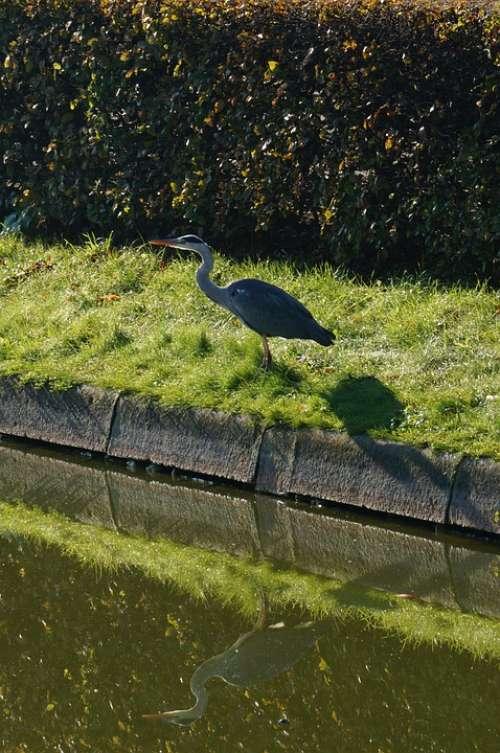Grey Heron Ardea Cinerea Heron Water