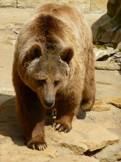 Grizzly Bear Wild Animals Brown Bear Zoology