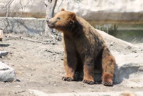 Grizzly Bear Brown Animal Wildlife Nature Cute