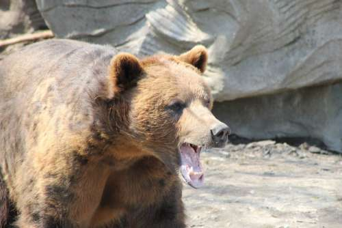 Grizzly Bear Brown Teeth Animal Wildlife Nature
