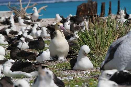 Ground Nesting Tailed Short Albatross Birds