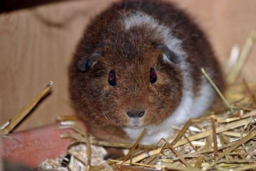 Guinea Pig Josie Pet Young Babies Fluffy