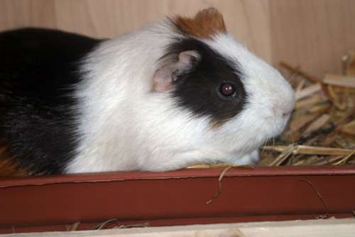 Guinea Pig Sea ​​Pig House Animal Rodent