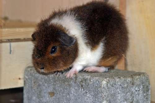Guinea Pig Rex Guinea Pig Goldagouti White Fluffy