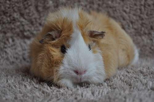 Guinea Pig Rodent Animal Rosette Sweet