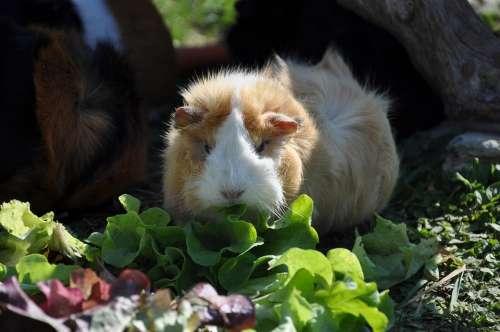 Guinea Pig Salad Eat Rosette Rodent Animals