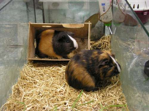 Guinea Pigs Guinea-Pig Two Female Male Tricolour
