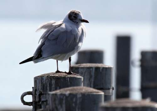 Gull Bird Sitting Lake Lake Constance Water Gulls
