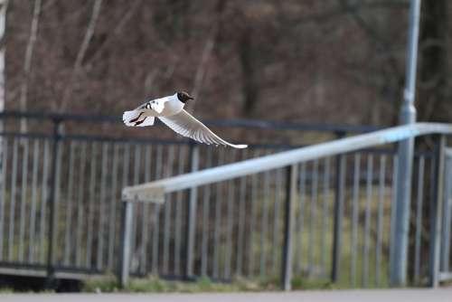 Gull Birds Bird Flying Animal Seevogel Species