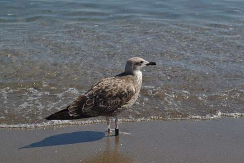 Gull Seagull Bird Beach Brown Grey