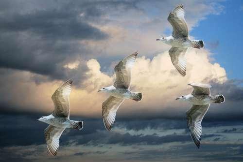 Gull Sea Gull Birds Sky Clouds Blue Sky