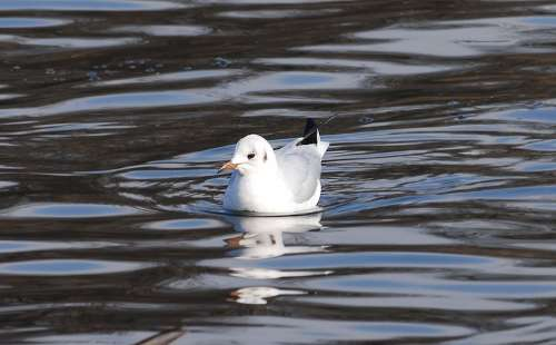 Gull Resting Bird Wildlife Feather Water