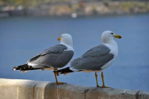 Gulls Birds Bill